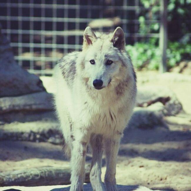 Loup Animal Photography Zoo Lapalmyre Nature
