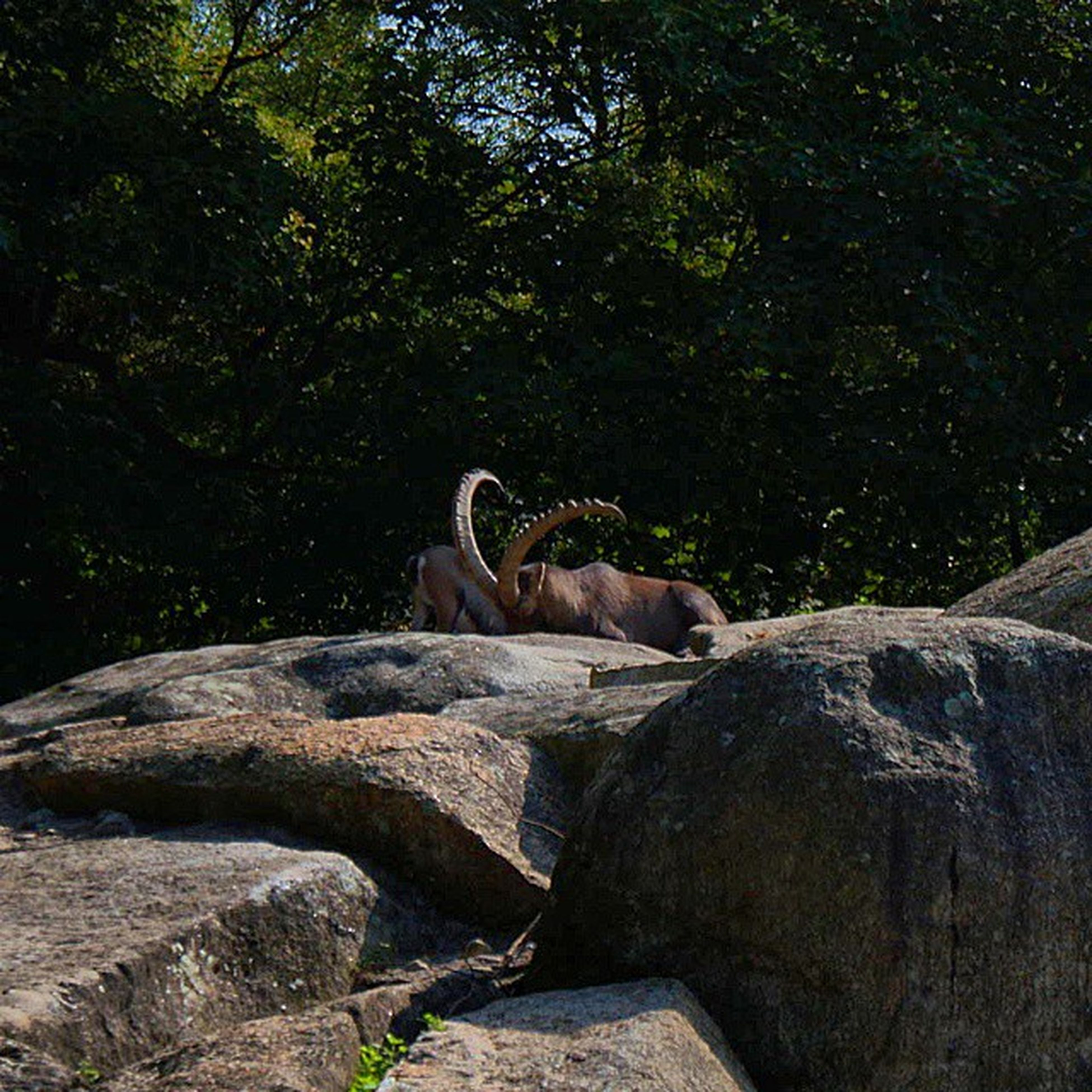 animal themes, mammal, one animal, domestic animals, tree, relaxation, two animals, wildlife, resting, side view, nature, zoology, animals in the wild, rock - object, herbivorous, animal, sunlight, lying down, vertebrate, outdoors