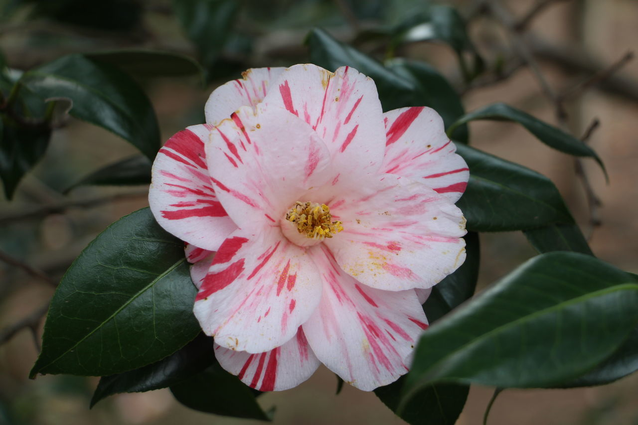 Beauty In Nature Blooming Blossom Camellia Chofu Close-up Day Flower Flower Head Focus On Foreground Fragility Freshness Growth Japan Nature No People Outdoors Petal Pink Color Plant Pollen Rhododendron Stamen Tokyo Tsubaki