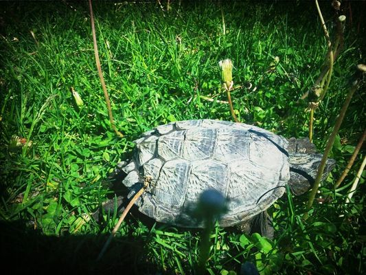 tortue! in Brossard by Jo C.