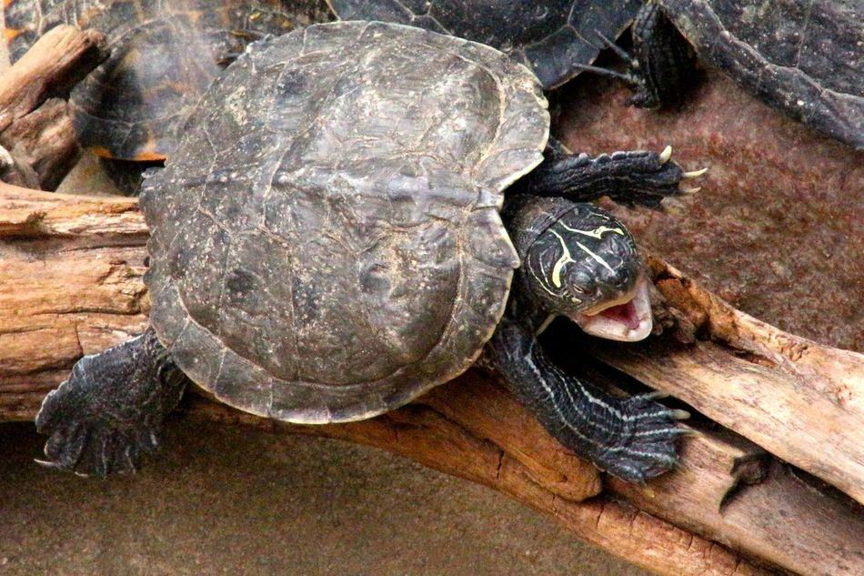 Beautiful stock photos of turtle, Animal Themes, Animals In The Wild, Day, Driftwood