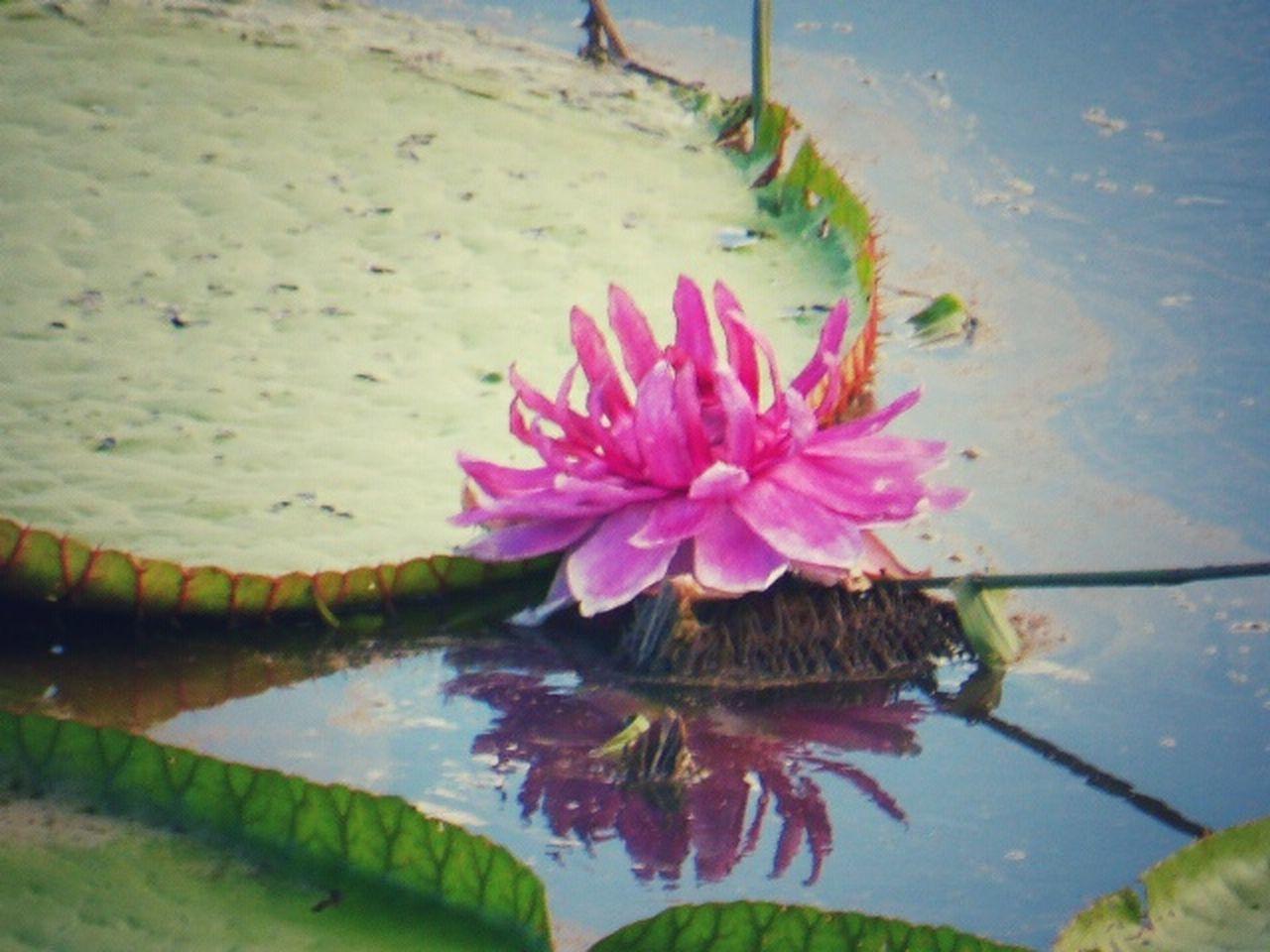Flor Vitoria Regia Amazonas Itacoatiara