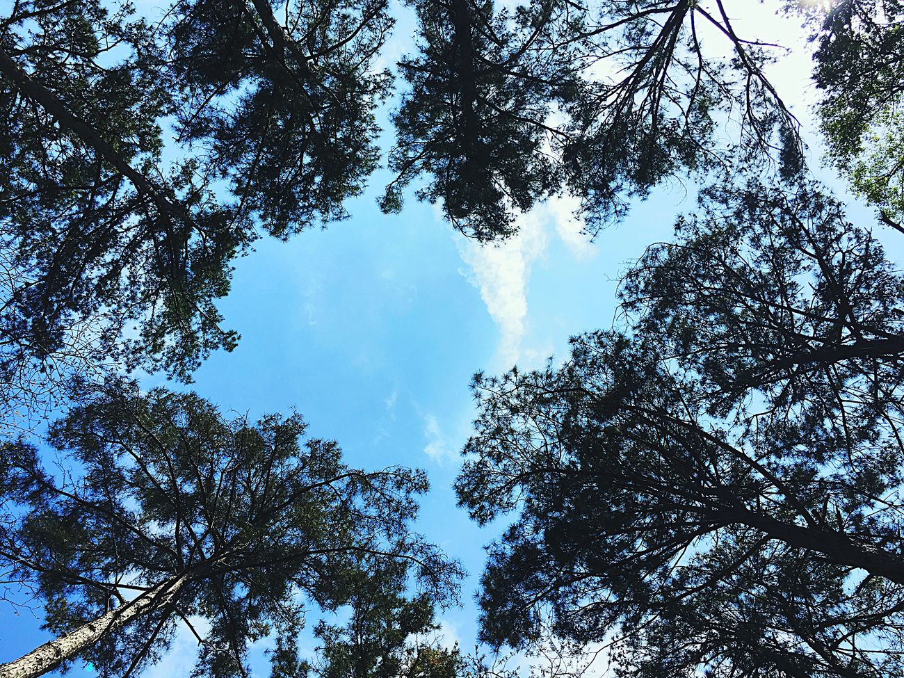 Low Angle View Tree Nature Forest Branch Sky Outdoors Beauty In Nature Lookingup Day Pine Tree No People EyeEm Nature Lover