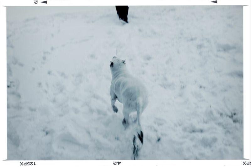 Running Dogs Snow Canon DSLR Pitbull Newyork Mutt