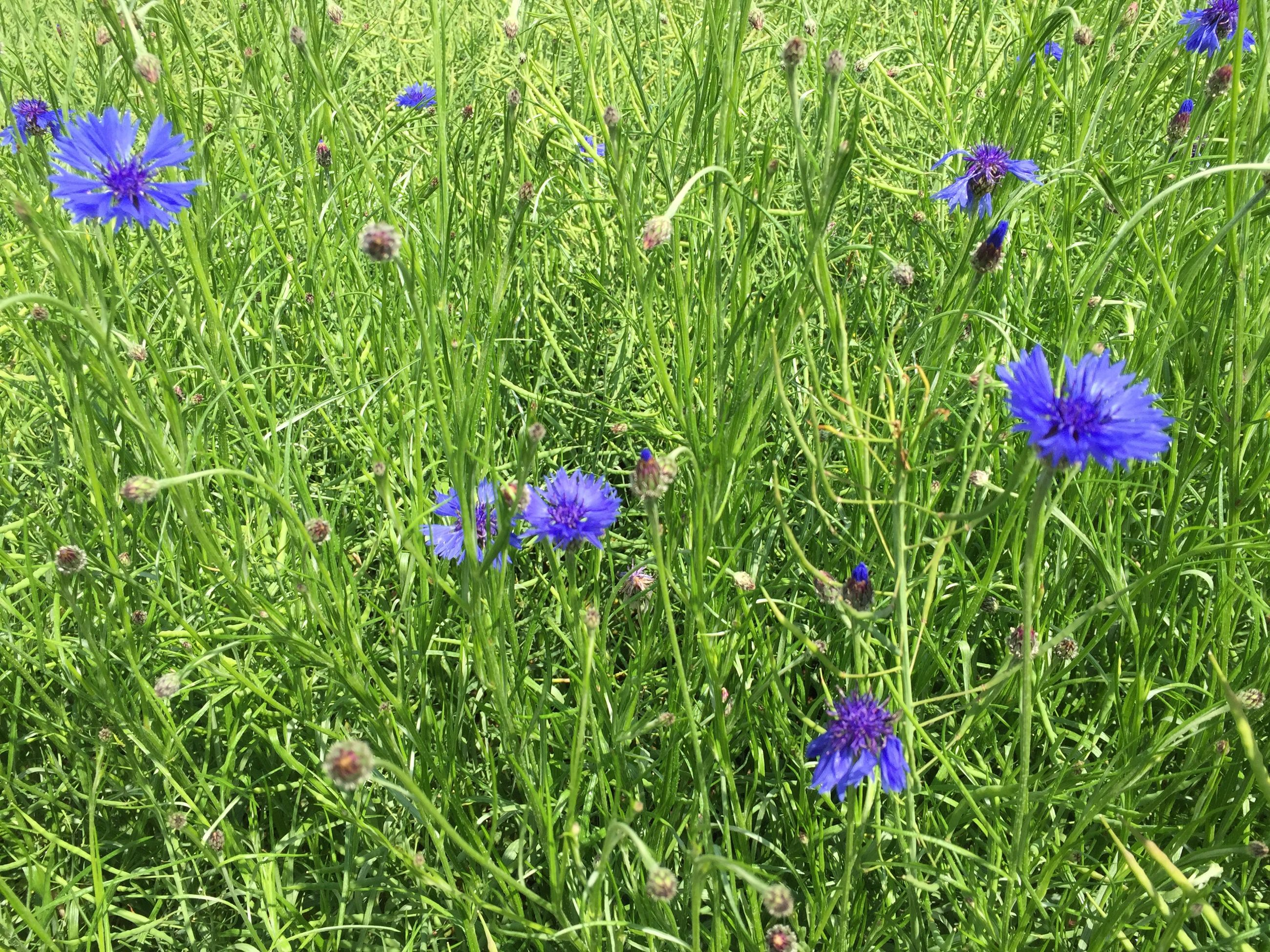 flower, purple, freshness, growth, grass, fragility, field, beauty in nature, nature, blooming, green color, plant, petal, meadow, wildflower, in bloom, flower head, blue, high angle view, day