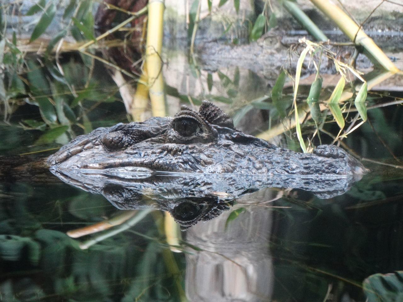 Kaiman Close-up Funny Faces Abhängen Relax Zoo Aligator Mirror Reflection Mirror Effect Mirror Picture Spiegelung Wasser