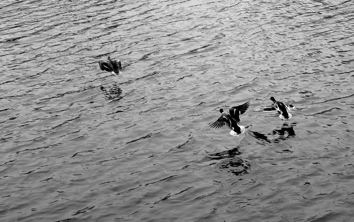 Showcase March Check This Out Taking Photos Birds Bird Photography Bird Black And White Blackandwhite Photography Monochrome Water Kharkivgram Kharkiv Ukraine 2016 Photography In Motion