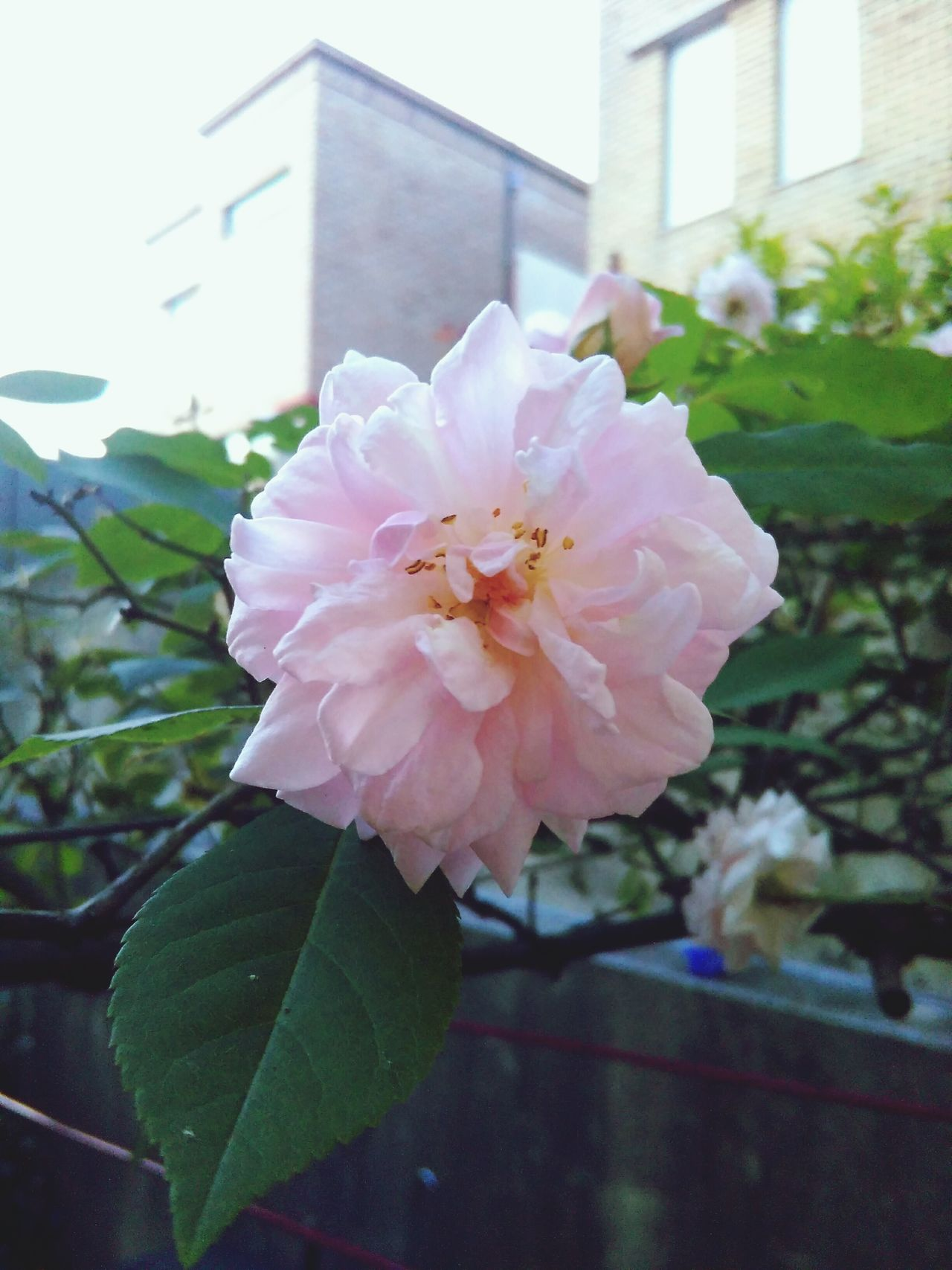 Garden Roses Check This Out Awsomenature Flowers Nature