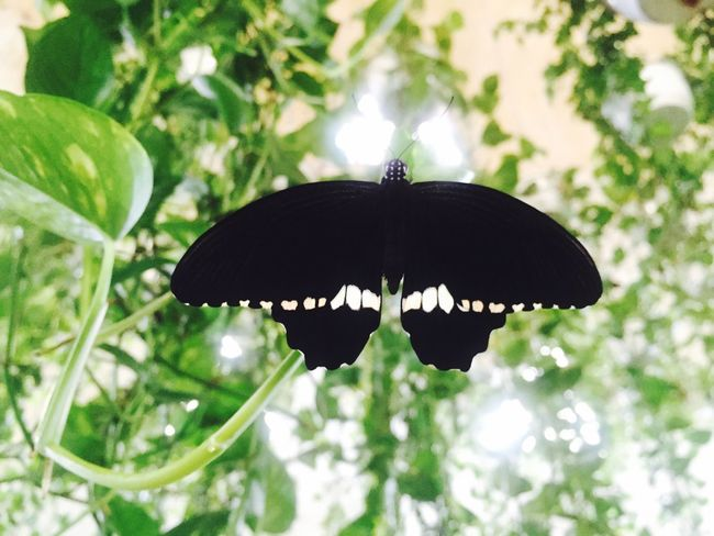 Black butterfly Butterfly Black Butterfly Black And Green Beautiful Beautiful Nature Nature Nature Photography Nature_perfection Perfect Perfection Garden Dubai Garden Dubai Dubai Butterfly Garden Amazing Amazing Nature