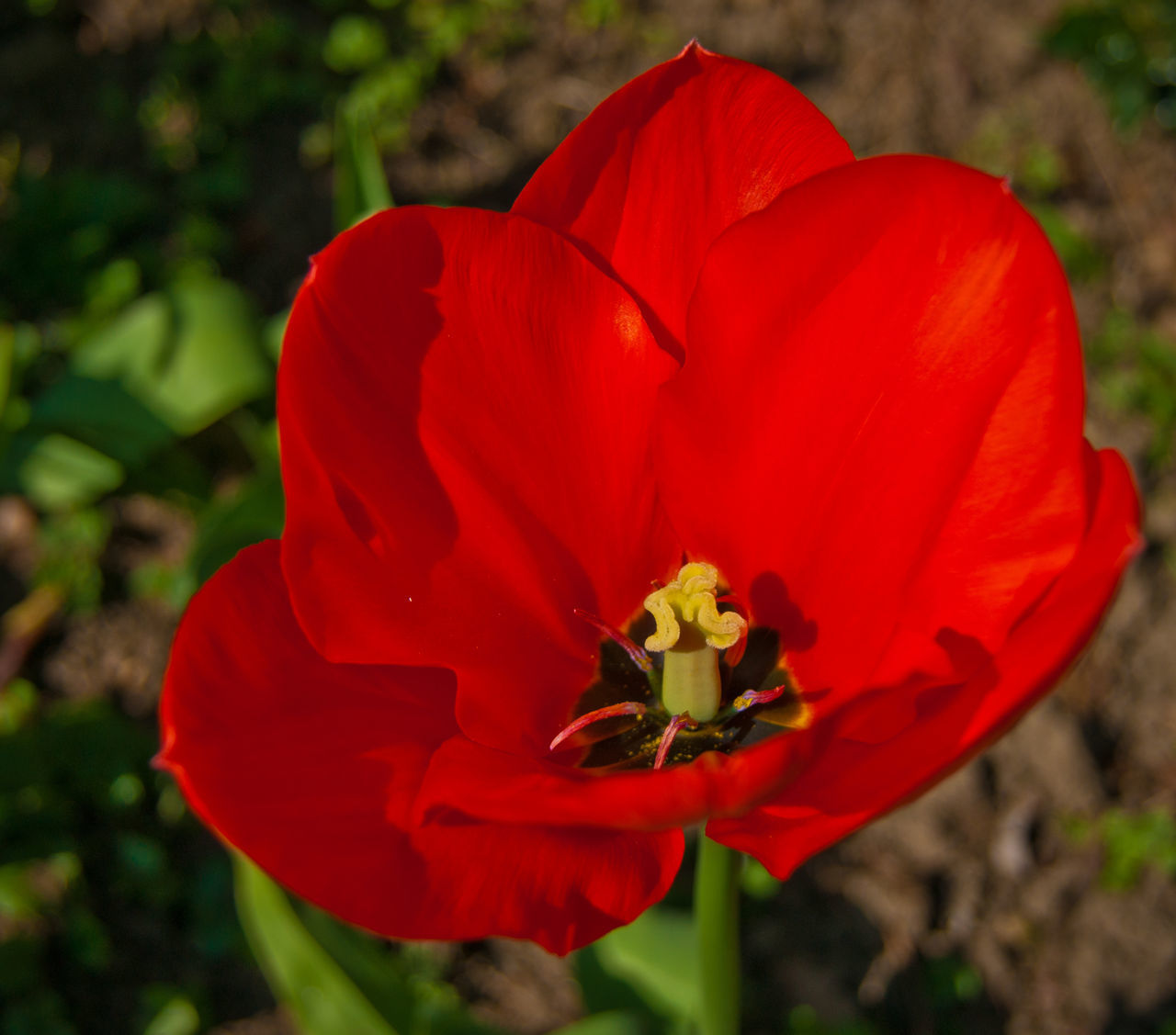 flower, petal, red, beauty in nature, nature, flower head, fragility, growth, outdoors, freshness, blooming, plant, focus on foreground, close-up, day, no people, poppy