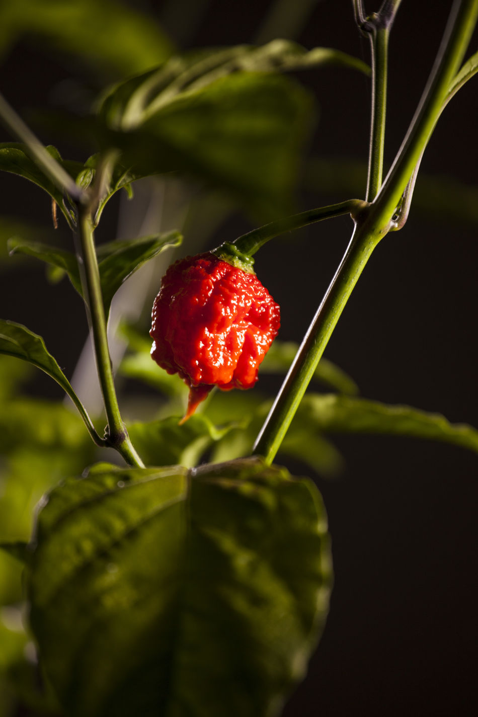 Agriculture Backgrounds Beauty In Nature Carolina Reaper Close-up Day Food Food And Drink Freshness Fruit Green Color Growth Healthy Eating Hot Hot Pepper Hot Peppers Plants Leaf Nature No People Outdoors Plant Red
