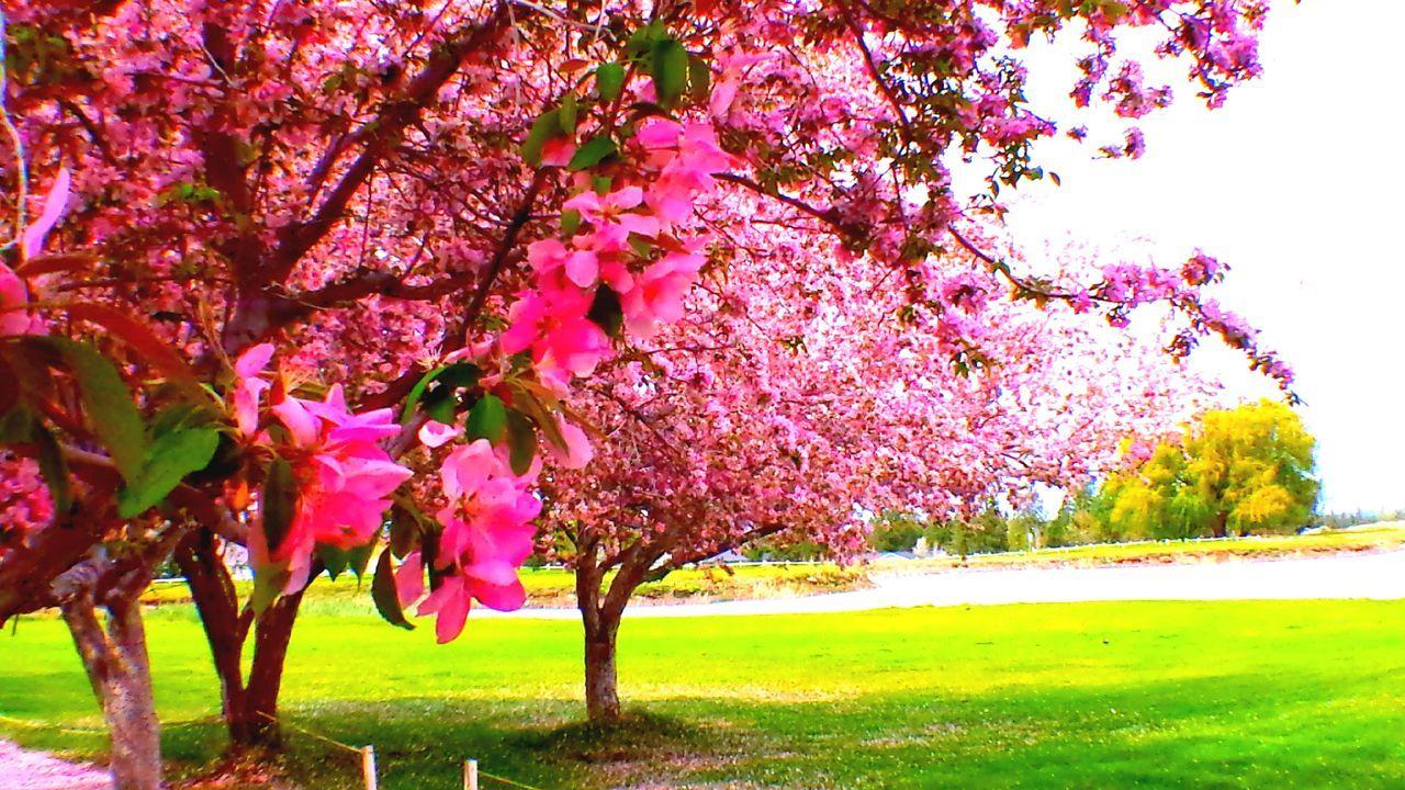DIAMOND MAFIA PHOTOGRAPHY Pink Springtime golf course Flowers Lake Shastina Diamond Mafia Photography