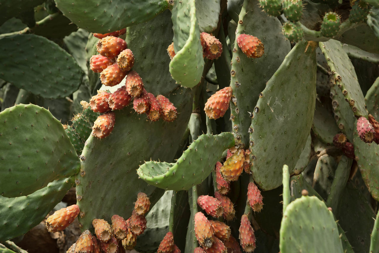 Cactus Fruit Abundance Background, Bloom, Blossom, Blue, Botanical, Botany, Cactaceae, Cacti, Cactus, Colorful, Desert, Detail, Edible, Exotic, Farm, Field, Flora, Flowers, Food, Fresh, Fruit, Garden, Green, Health, Healthy, Hot, Juicy, Natural, Nature, Needle, Nopales, Nutriti Beauty In Nature Botany Cactus Flower Close-up Day Flower Focus On Foreground Fragility Freshness Green Green Color Growing Growth Leaf Leaves Nature No People Outdoors Plant Season  Stem Tranquil Scene Tranquility