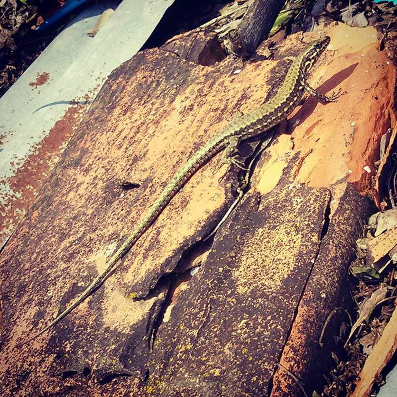 Lucertola Animaleasanguefreddo Rettile Lizard Coldbloodedanimal Reptile