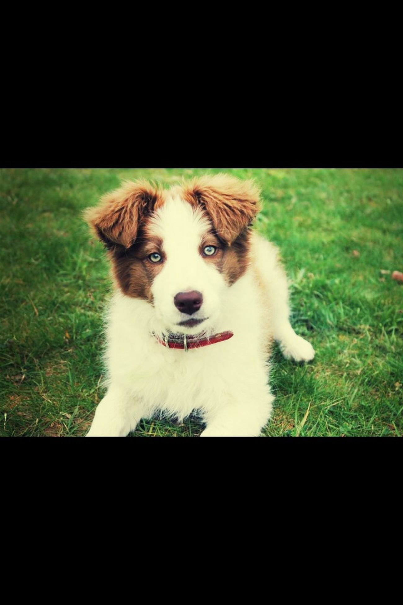 Laïka I Love My Dog Border Collie Petit Chiot