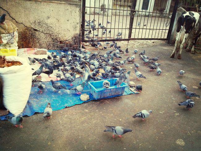birds Taking Photos Enjoying Life Pigeon Bird  Nature_collection