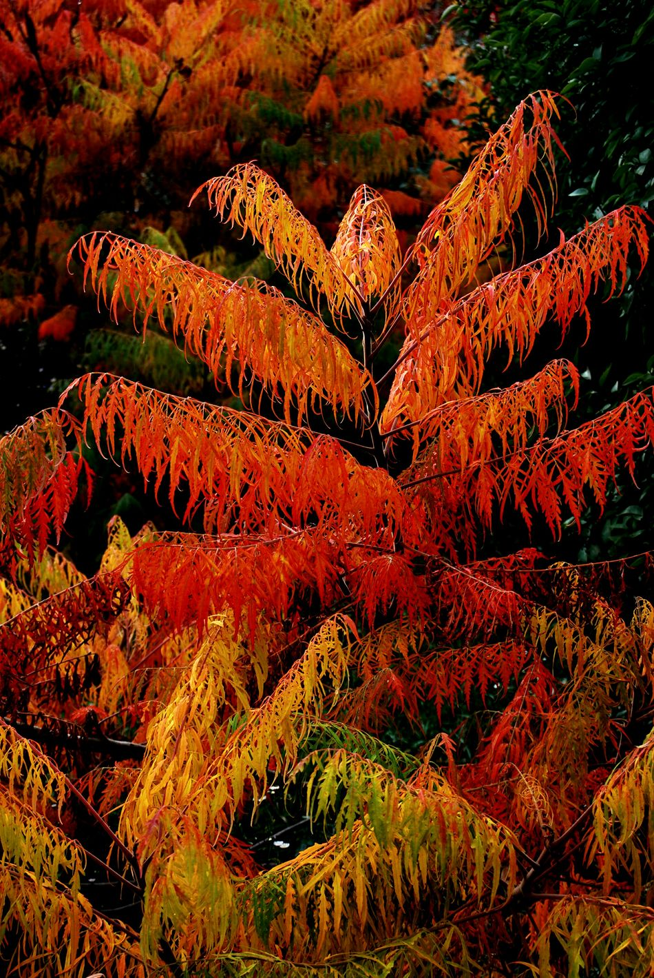 rhus typhina dissecta sumah tree orange autumn fall bright branch Beauty In Nature Growth Plant No People Outdoors Landscape Day Nature Orange Color Leaves🌿 Maple Leaf Cityparking Multi Colored Photographer Orange Color Photos Branches And Leaves Tourism Orange Tree Garden Photography Golden Leaves Autumnbeauty Autumn🍁🍁🍁 Autumn Is Here...Fall Mood!