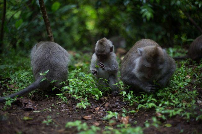 Ubud Bali MonkeyForest