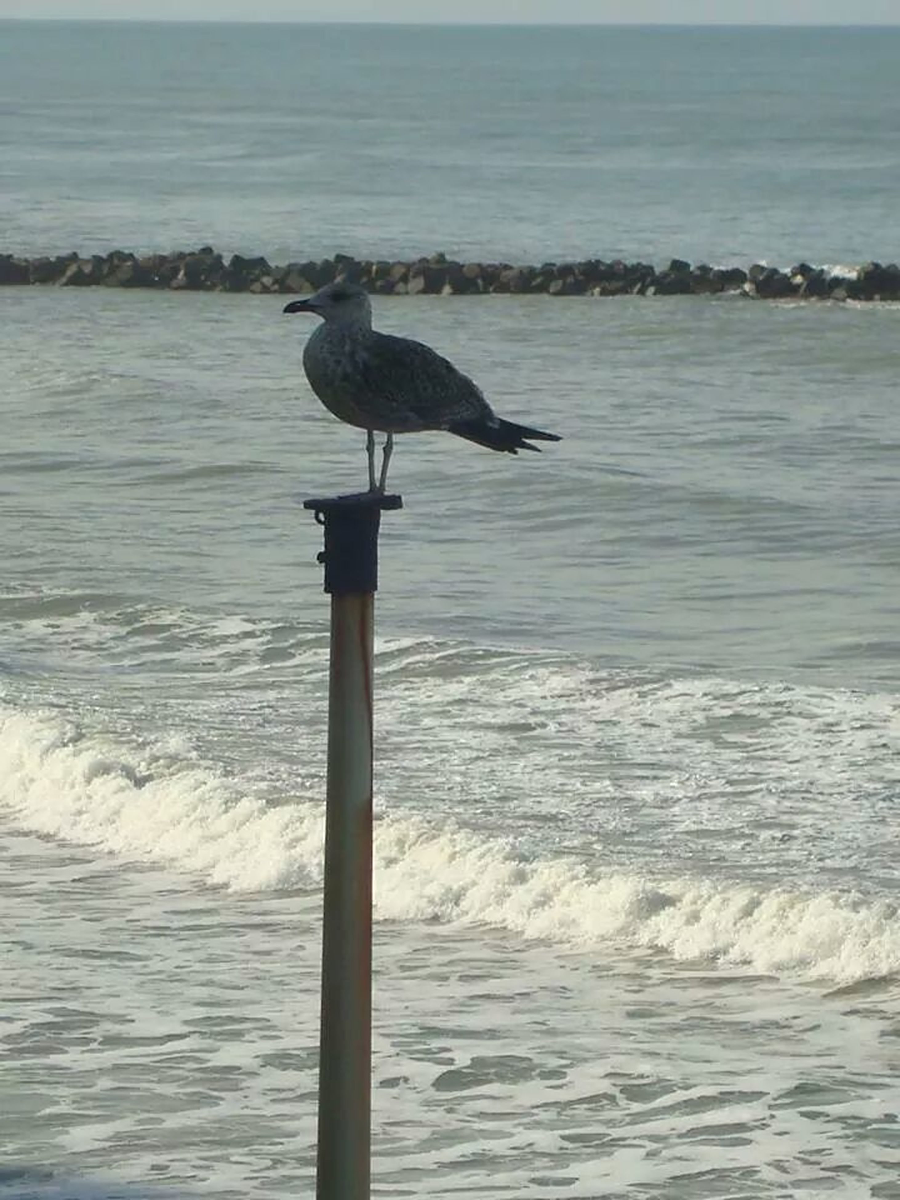 bird, sea, water, animal themes, animals in the wild, one animal, wildlife, seagull, perching, horizon over water, wave, nature, rippled, wooden post, beauty in nature, day, pole, outdoors, waterfront, full length