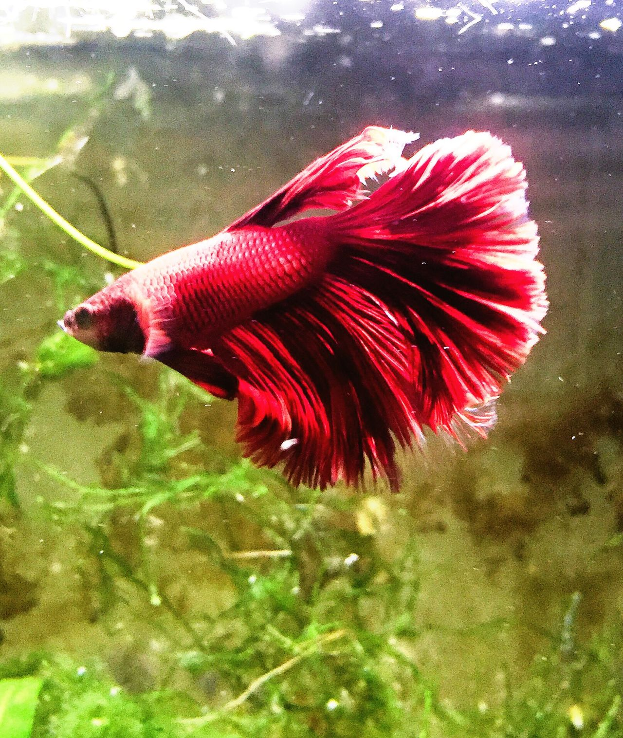 Beautiful Red Betta Fish Betta  Fish Betta Lovers Siamese Fighting Fish Bettafishcommunity Colorful Selective Focus