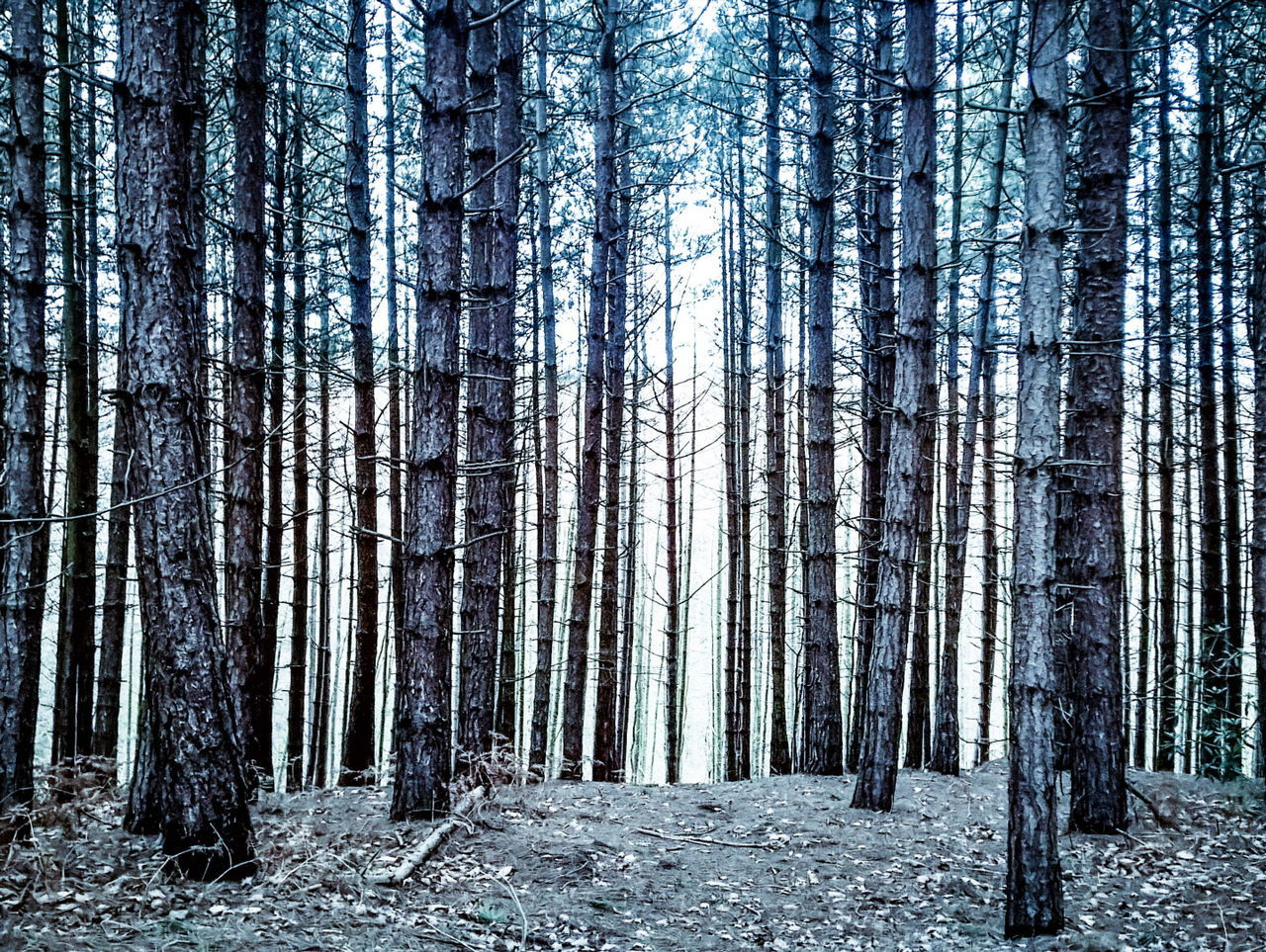 forest, tree trunk, tree, nature, tranquility, tranquil scene, woodland, beauty in nature, day, no people, scenics, landscape, outdoors, growth