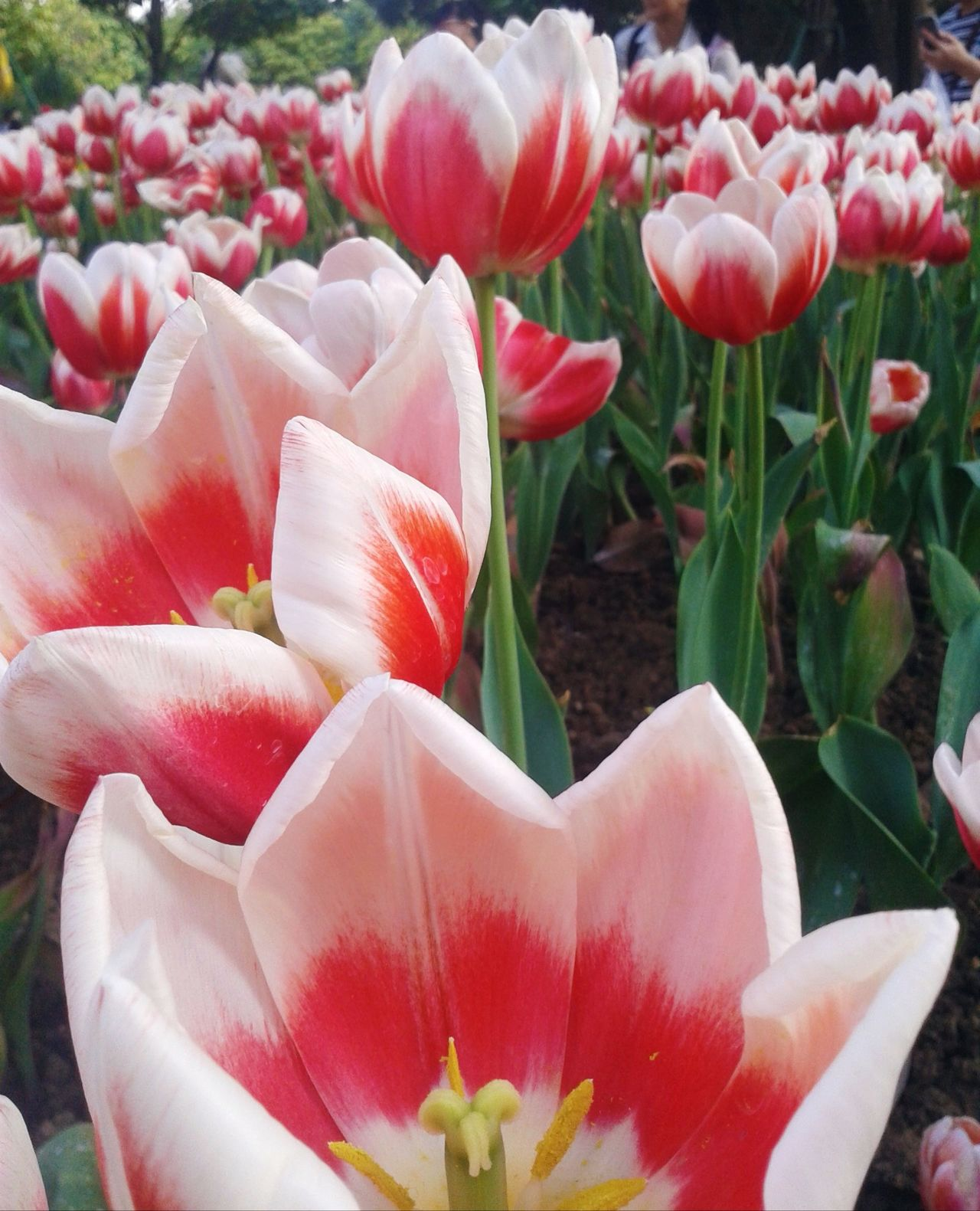 Flower Freshness Nature Petal Beauty In Nature Plant Fragility Flower Head Red Close-up Growth No People Tulip Pink Color Blossom Outdoors Flower Arrangement Day Bouquet