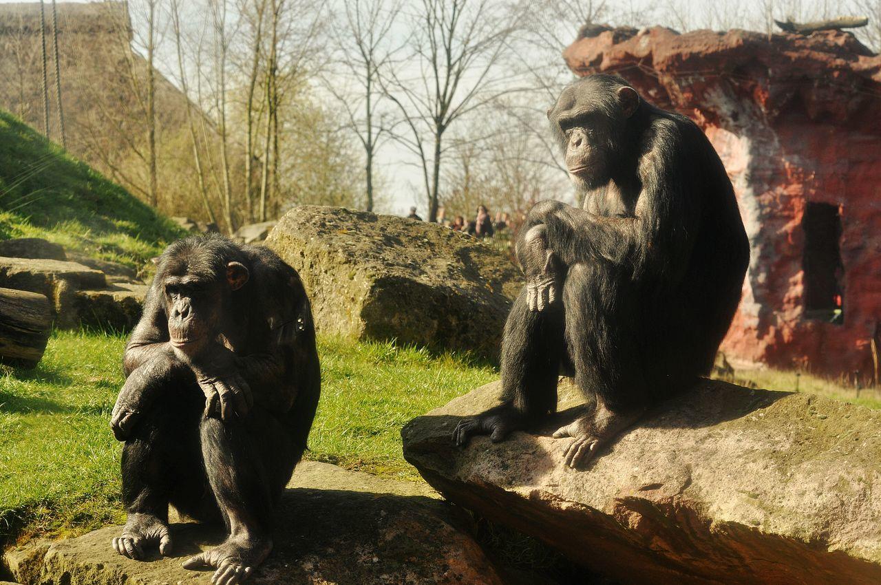 Affen Monkeys Animal_collection Animalphotography Animal Photography Animal Themes Zoo Zoo Animals  Zoology Animals In The Wild Chimpanzee Wildlife Photography ZOOM Erlebniswelt Wildlife