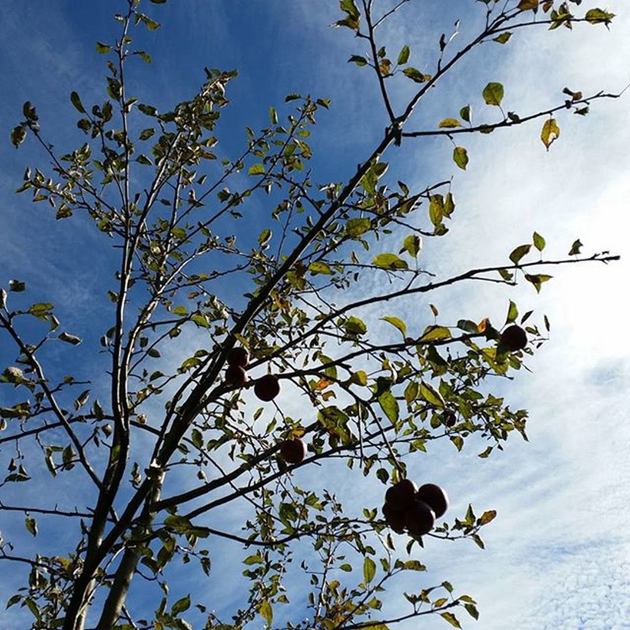 Mele  Melo Albero Alberodimele Nature Natura Naturelovers Sight Sightseeing Tree Sky Skyporn Skylovers Travel Travelpic Shoot Keepcalm Home Sila Silapiccola Montagna Mountains Autumn White Clouds green leaves