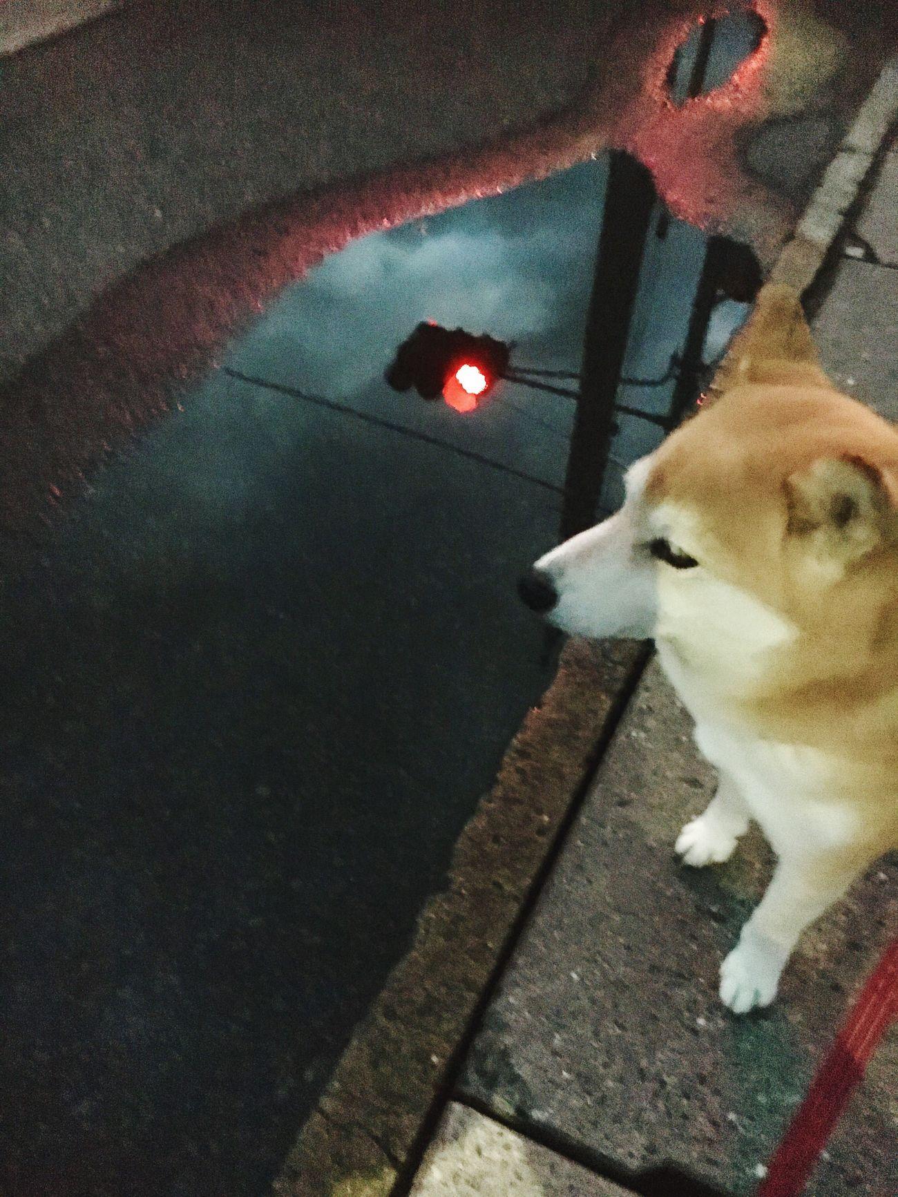 信号待ち Pets Dog IPhoneography Shiba Inu Shiba Inu LOVE
