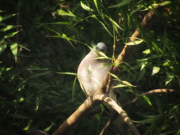 looking into the camera--3 Nature Photography Nature In Wild Untouchednature Natural Light Sunlight And Shadow Sunset Time Green Leaves☘️ Pigeon Pose Starring Eyes Low Angle View Couplesphotography Nature Outdoors No People Plant Animal Wildlife Close-up Day Tree Freshness