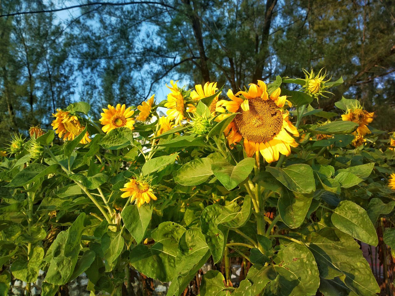 Flower Growth Nature Beauty In Nature Plant Yellow Day Petal Outdoors Freshness No People Flower Head Fragility Tree Close-up Sunflower 🌻 Sunflower