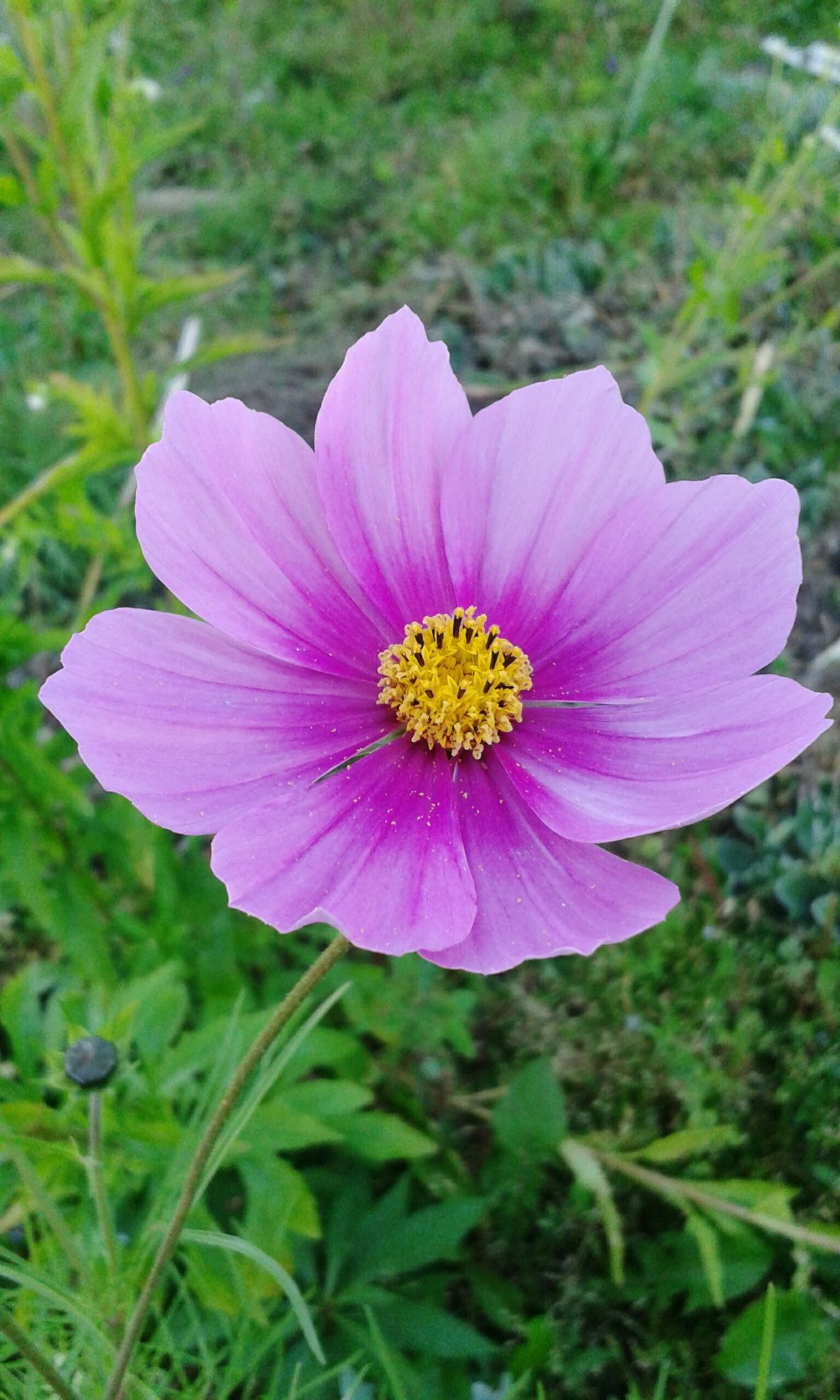 Flower Fragility Petal Flower Head Freshness Beauty In Nature Pink Color Nature Growth Purple Blooming Pollen Plant Close-up No People Outdoors Day