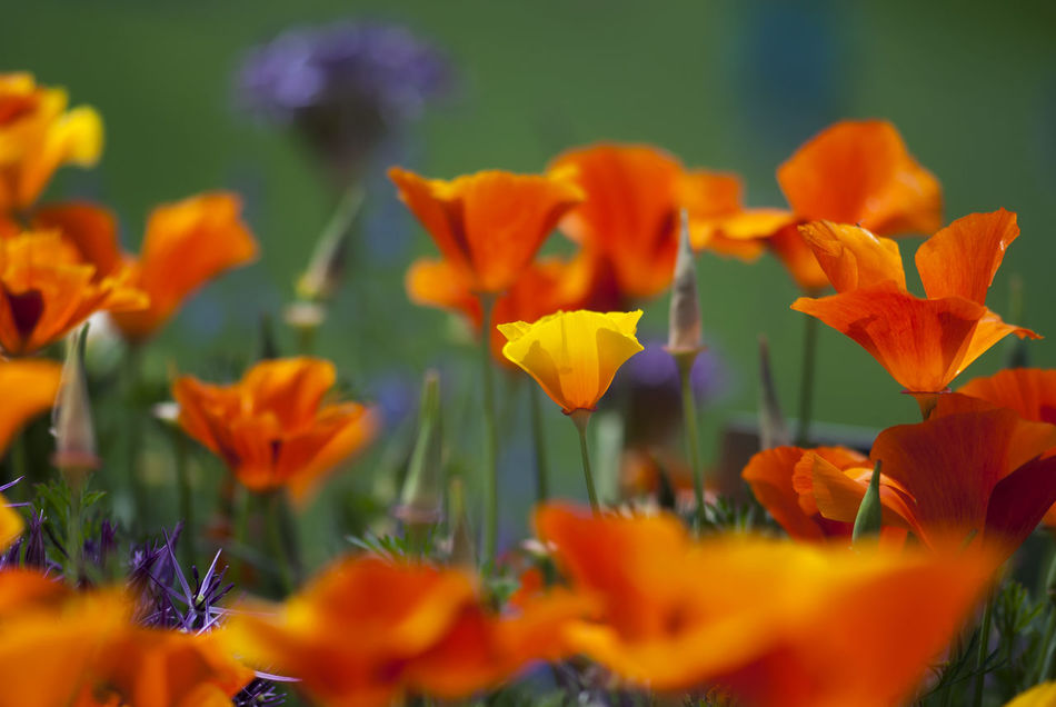 A yellow California poppy flower stands out among orange poppies in summertime. Botanical Botanical Gardens Bright Bright Colors California California Poppies California Poppy Colorful Field Floral Flower Flowers Garden Meadow Nature Orange Red Season  Seasonal Spring Summer Vibrant Vivid Wildflower Yellow