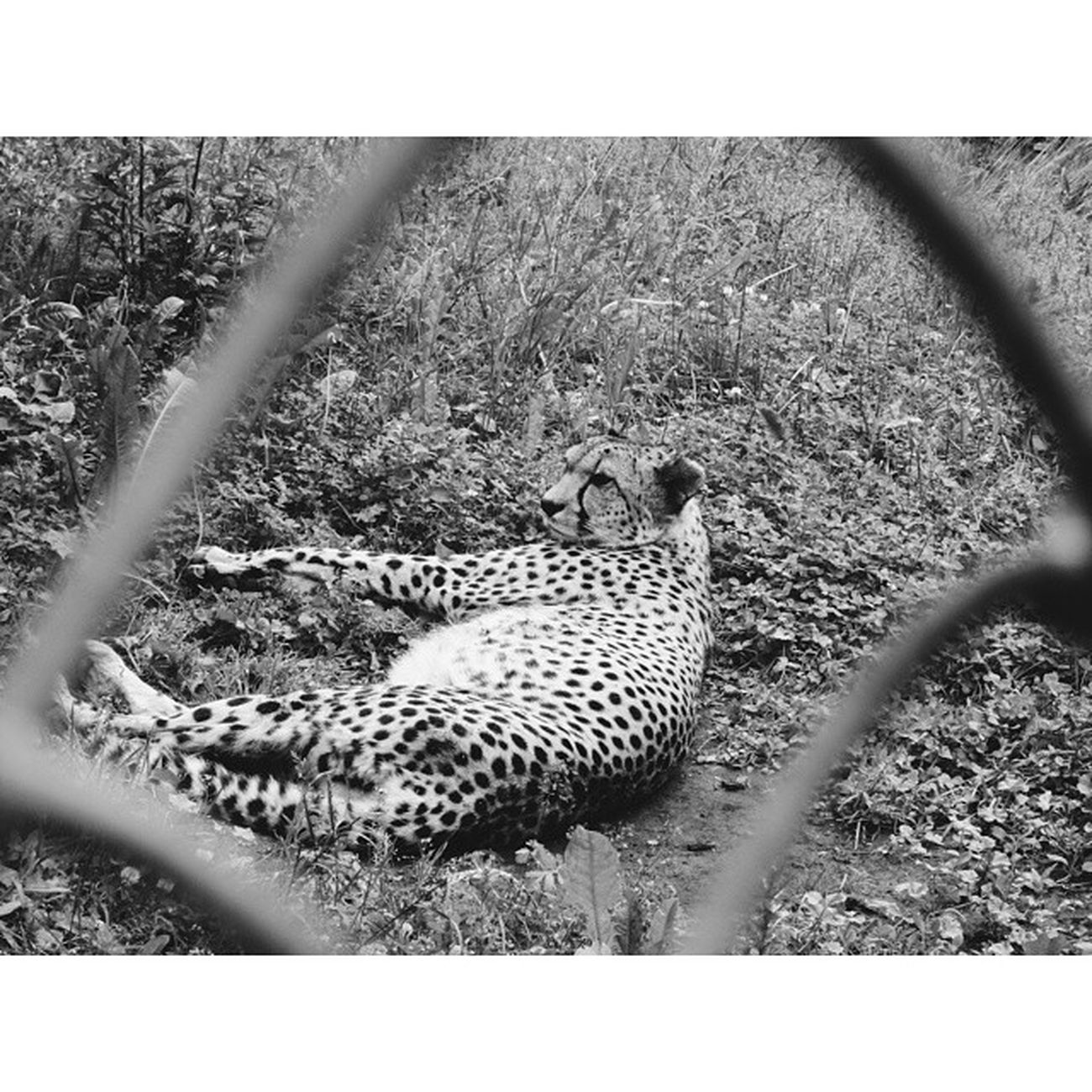 гепард кошка хищник зоопарк Охотник вклетке скорость лето жара Cheetah Cat Predator Zoo Hunter Inthecell Speed Summer Heat Monochrome Instasize