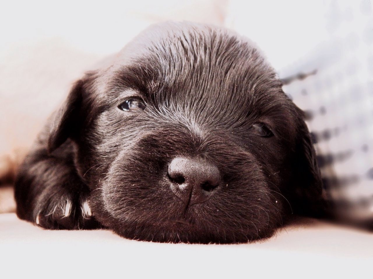 Pets Dog Domestic Animals One Animal Mammal Animal Themes Close-up No People Portrait Indoors  Black Labrador Day Puppy Black Black Dog Softness Baby Cute Cute Pets Looking At Camera Baby Animals Babydog Puppy Love Puppy Face Black Puppy
