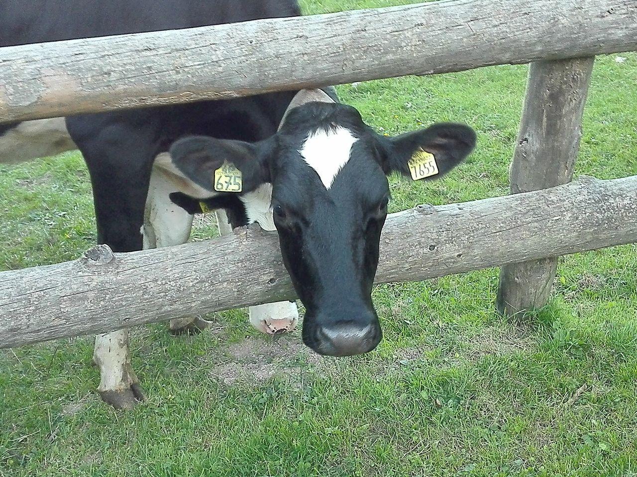 Malga grassi Trentino  Trentino Alto Adige Mucca Cows Nature Narure_collection Naturelovers Cowntry Nature Photography Milk Trees Animals Landscape_Collection
