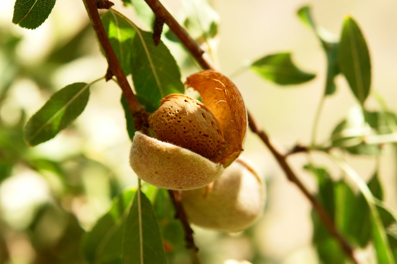 Almond Almond Fru Almond Tree Close-up Food Freshness Fruit Growing Growth Healthy Eating Plant