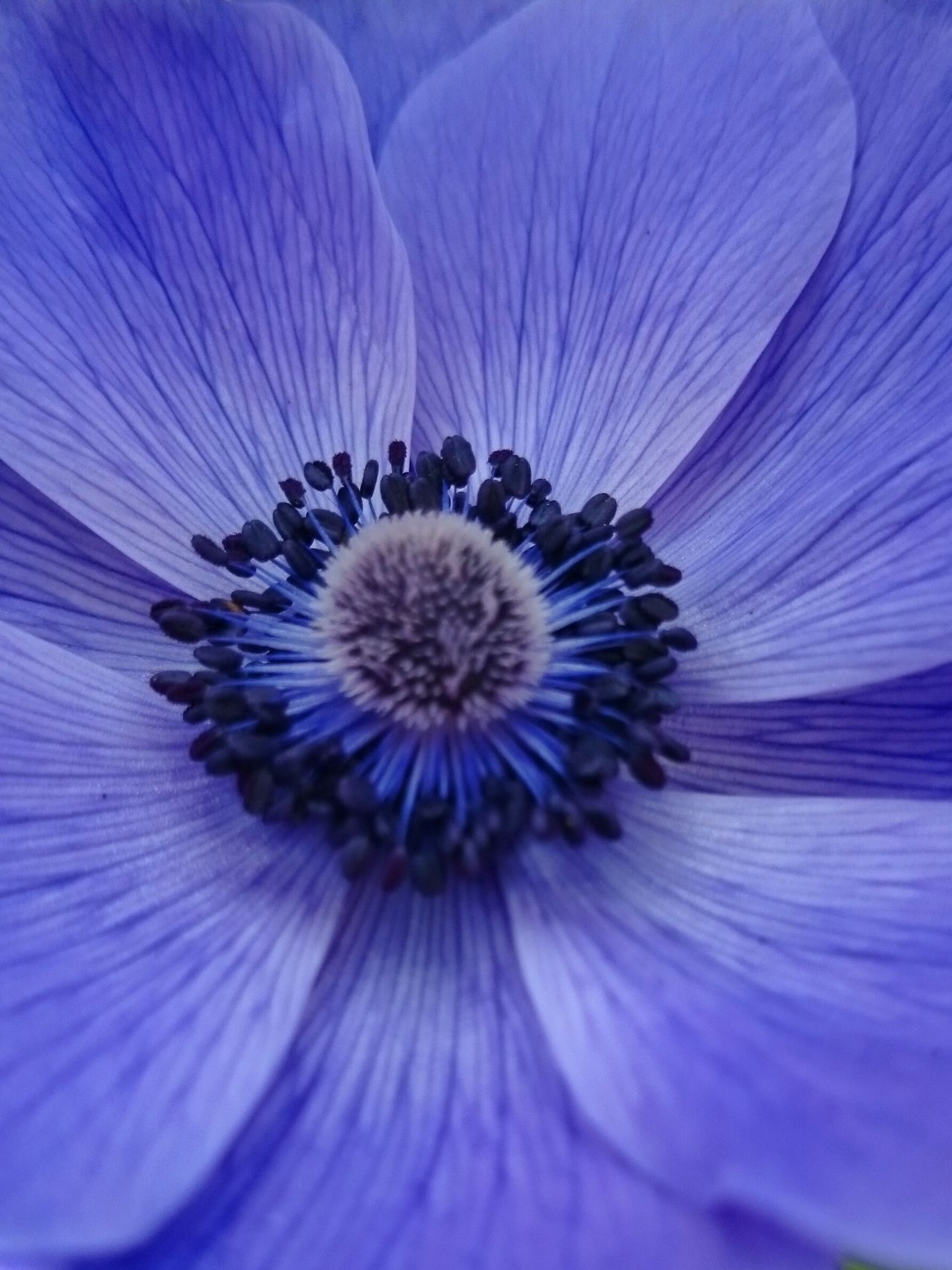 Blue Spring.Macro_flower Macro Beauty Flowerporn Closeup Macro Photography Flowers Colours Of Nature Close Up Flower Head Colours Of Blue Colour Of Life Maximum Closeness