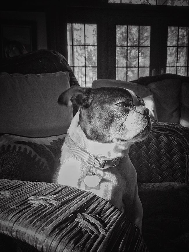 Diva Pose in Black and White. Dogs Portrait