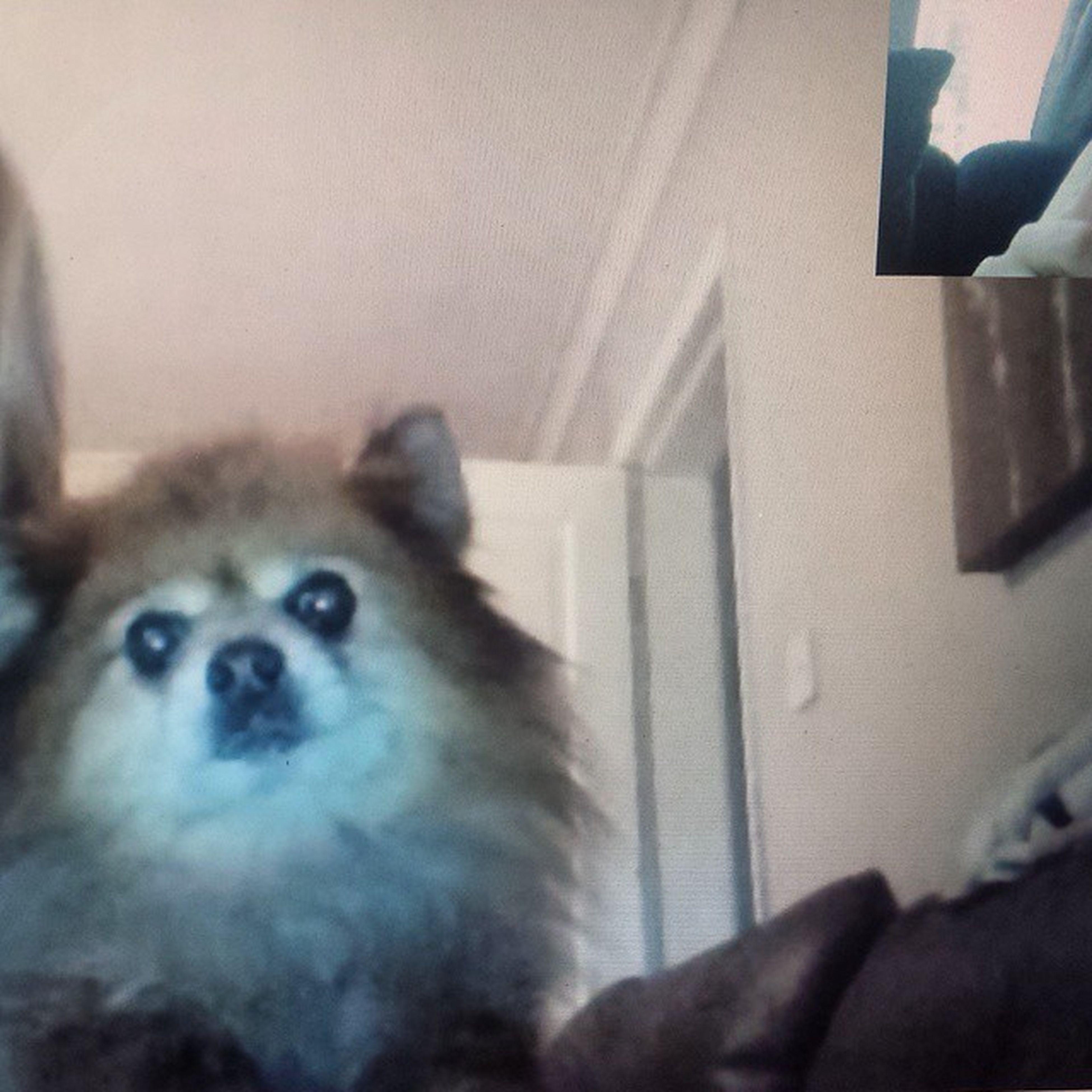 Skyping with my baby boy Pikachu Instadog Missmypikachu Misshim Pomeranian Skype Pretendingthatherecognisesme