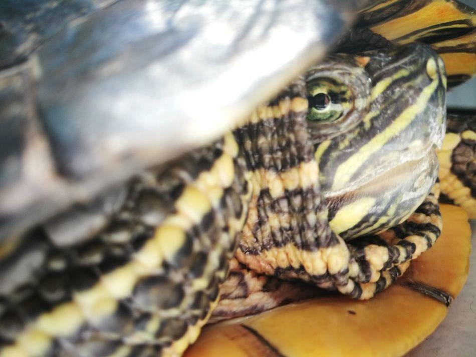 Turtle Florida Turtle Colorful Beautiful Nature Beautiful Reptile Fine Art Photography Green Brown Yellow Green Eyes