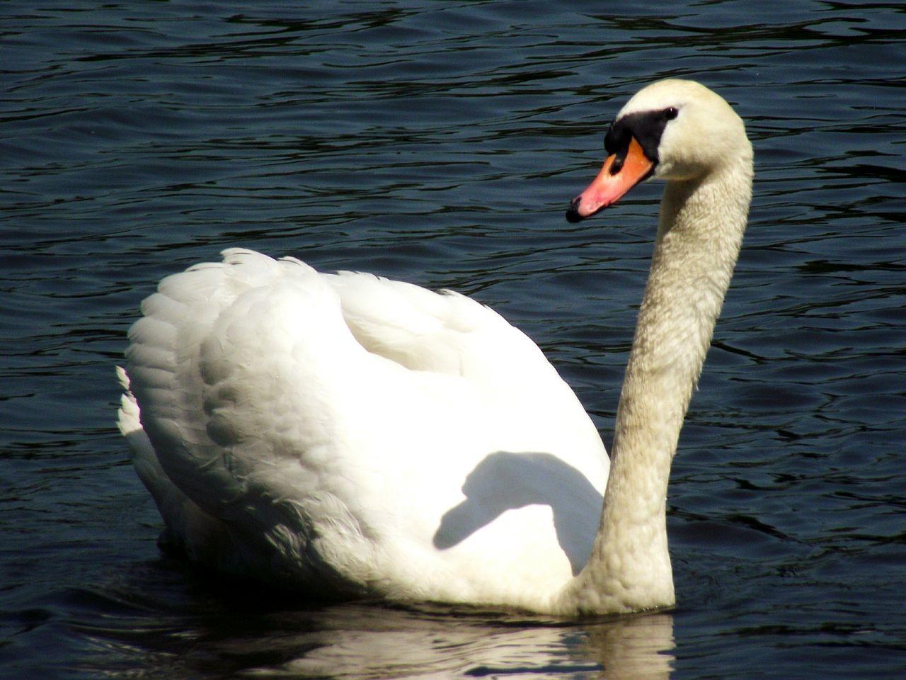 White Swan In Water