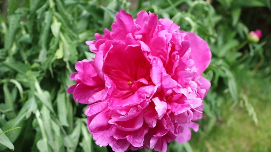 Flower Beauty In Nature Nature Flower Head No People Blooming Close-up Plant Outdoors Pink Color