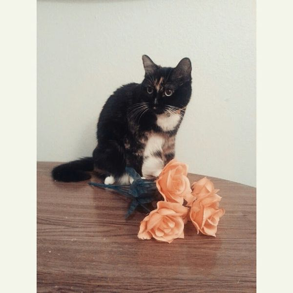 Cat & roses First Eyeem Photo Photography Taking Photos Tortoiseshelltabbycat Catlovers Cats Of EyeEm Cats 🐱 Tortoiseshell Catsandflowers Hi!