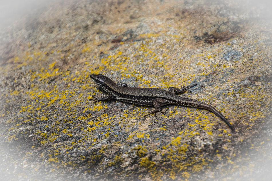 lizard on a stone Animal Themes Animal Wildlife Animals In The Wild Close-up Day Full Length Lizard Nature No People One Animal Outdoors Reptile Yellow