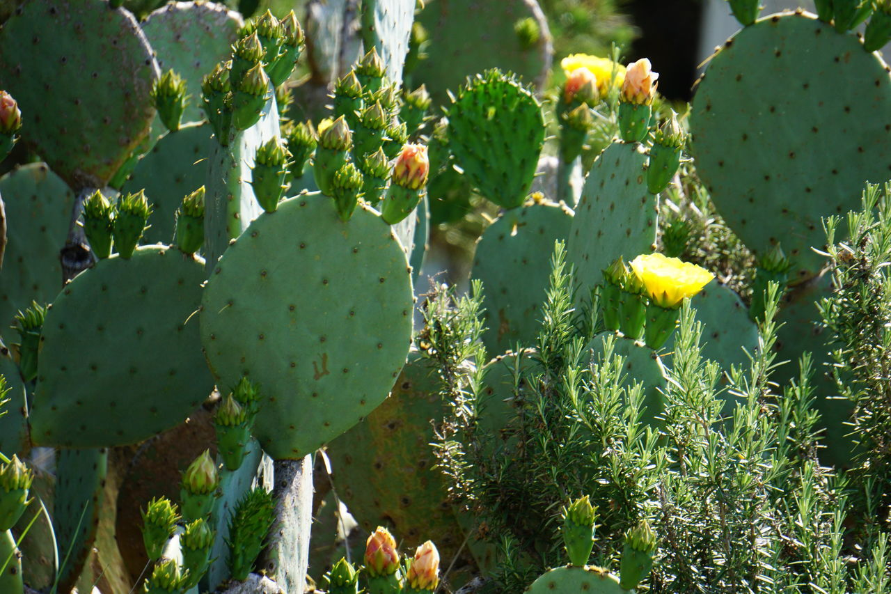 Growth Nature Fruit Green Color Outdoors Plant Prickly Pear Cactus No People Day Food Sunlight Food And Drink Healthy Eating Beauty In Nature Leaf Freshness Cactus Close-up Tree Sunlit Flowering Cactus