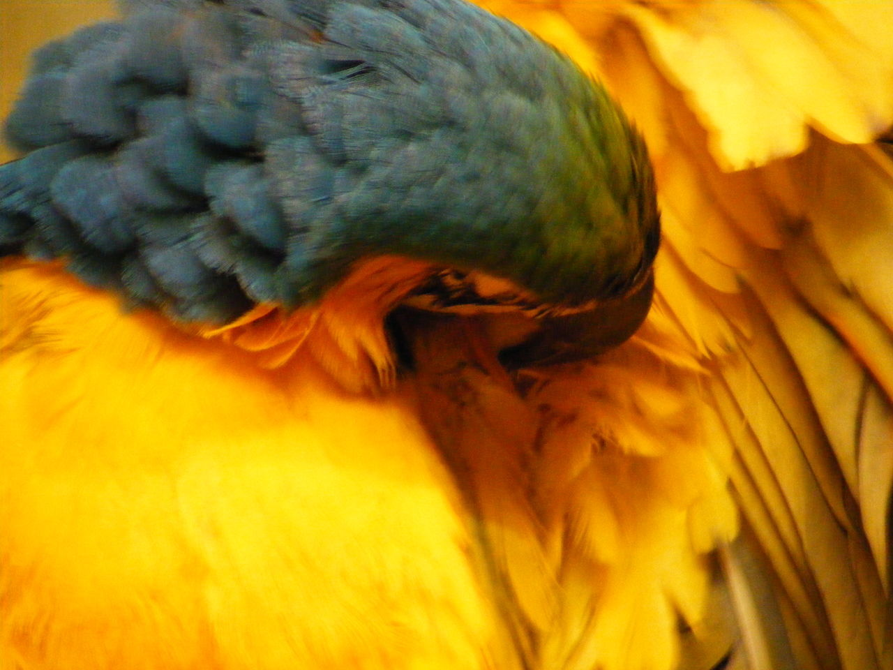 bird, one animal, animals in the wild, animal themes, animal wildlife, close-up, no people, nature, perching, feather, beauty in nature, day, outdoors, parrot, gold and blue macaw, macaw