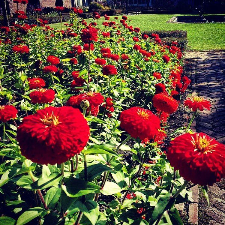 Beautiful zinnias in the King's Garden Fortticonderoga NY