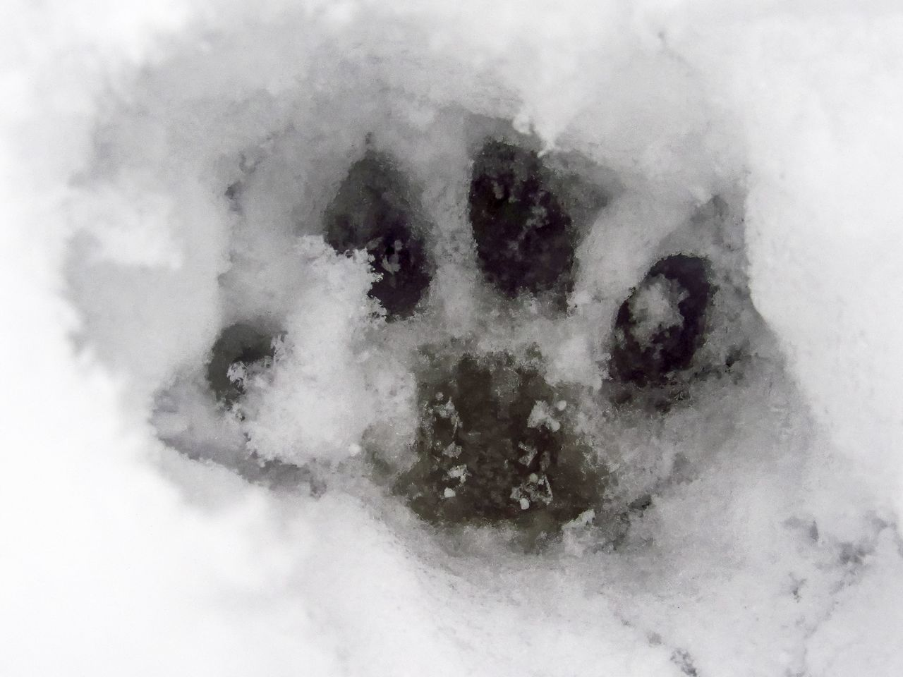 paw print Paw Print Print Animals In The Wild Paw Print In The Snow Snow Snow Prints Cat Paw Toes Tracks In The Snow Animal Themes Snow On The Ground EyeEm Selects Ice Foot Print Foot Prints Foot Prints In Snow Animal Track Cold Weather Winter Wonderland Cat Lovers Pets Designs Shapes And Forms Dog Child Childhood Human Body Part Close-up Children Only One Person