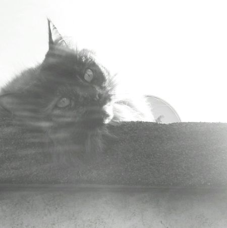Mainecoon Maine Coon Cat Cats Tortoiseshell Tortoiseshell Cat Tortoise Shell Beautiful Cat Pretty Cat Cat On The Roof Cat On A Roof Feline Cats Eyes Happy Cat Black And White Black & White Black And White Photography Day Dreaming Cat Dreams One CatMaine Coon Cat Furry Cat Cat Of EyeEm EyeEm Cat Fluffy Cat